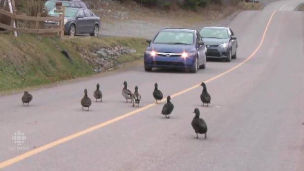 nl-duck-invasion-20141127_2500kbps_620x350_2618377023